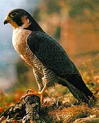 JPG: Anatum Peregrine - Photo by Environment Canada