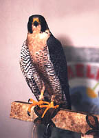 JPG: Peregrine on perch - Enviroment Canada Photo by Garth Scheuer