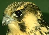 JPG: Head of young peregrine falcon.