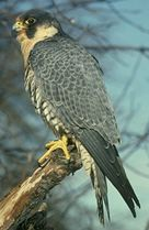 Photo: Peregrine on branch.